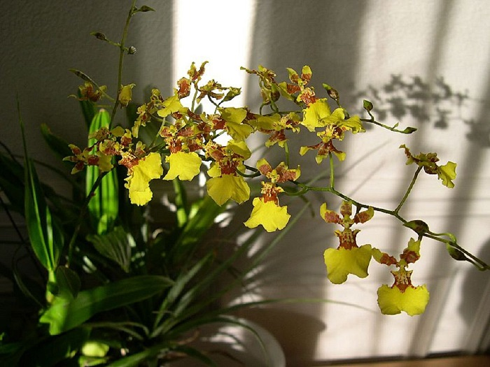 Орхидея - Oncidium Sweet Sugar.