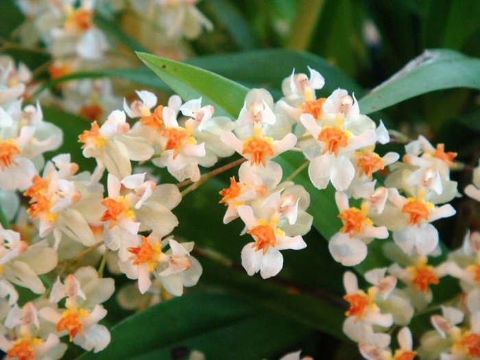Орхидея Oncidium Twinkle «White».